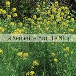 semis de Moutarde blanche - engrais verts La Semence Bio