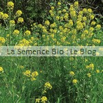 semence bio Moutarde Blanche
