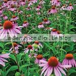 semence de fleur bio - rudbeckie echinacée - jardin potager