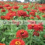 zinnia semence de fleur bio - jardin