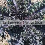 Chou Kale bio - semences potagères