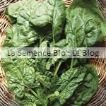 épinard jeune pousse bio - semences pour potager