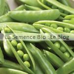 pois semence bio - jardin potager