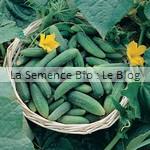 semence de cornichon - potager bio