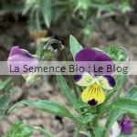 semence de pensée bio - jardin fleur comestible