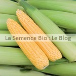semences bio Maïs