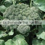 semence de brocoli bio - jardin potager aout