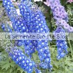 semence Delphinium Galilé Blue bio - fleur jardin