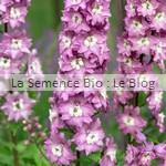 Delphinium semences bio potager