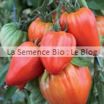 semences bio de tomate - potager