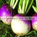 Navet blanc Globe à Collet Violet bio - semences potageres aout