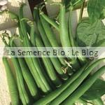 semences bio de haricot- permaculture