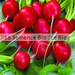 semences bio radis Rond Raxe