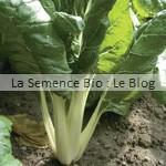 blette semences bio - graines pour potager
