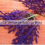 Mesclun Jeune Pousse Mizuna rouge - graine bio - La Semence Bio