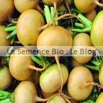 semence navet bio - graine pour potager