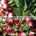 semences de radis bio - potager