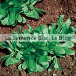 Mâche Verte à Cœur Plein - graine bio - La Semence Bio