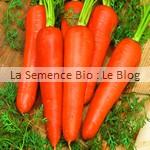 Carotte Rothild bio - graine pour potager