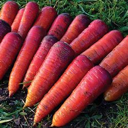 carotte Rouge sang - semences bio - légumes autrefois