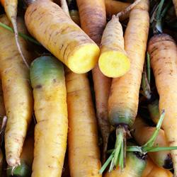 Carotte jaune du Doubs - semences bio - légumes autrefois