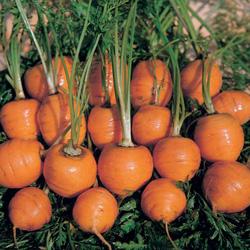 Carotte ronde Marché de Parisv - semences bio - légumes autrefois