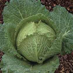 chou de Milan Gros des Vertus - semences bio - legumes d'autrefois