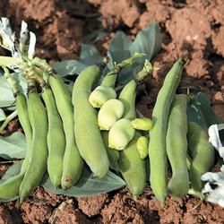 fève Aguadulce - semences bio - legumes d'autrefois