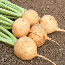 navet jaune Boule d'Or - semences bio - legumes d'autrefois