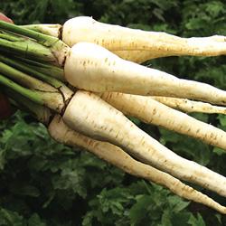 panais demi-long de Guernesey - semences bio - legumes d'autrefois