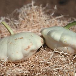 Pâtisson blanc - semences bio - legumes d'autrefois