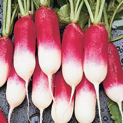 Radis de 18 jours - semences bio - légumes d'autrefois