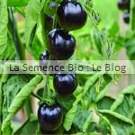 semences bio de tomates cerise - jardin potager en couleur