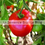 semences bio de tomate