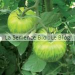 semences bio de tomate green zebra