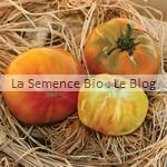 semences bio de tomate ananas - jardin potager couleur