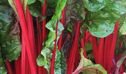 semences bio de carde en mélange - jardin potager