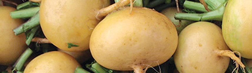 semences bio de navet - jardin potager en couleur