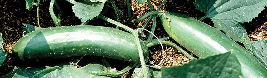 semences bio de concombre culture en pot ou potager