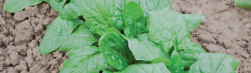 semences bio de épinard culture en pot ou potager