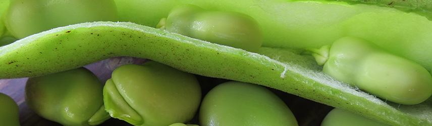 semis de printemps - semences de feve bio