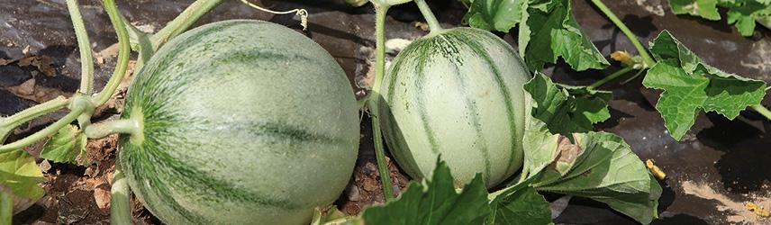 semis de printemps - semences de melon bio
