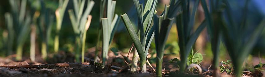 semis de printemps - semences bio poireau