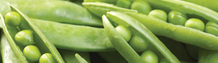semences bio de pois culture en pot ou potager