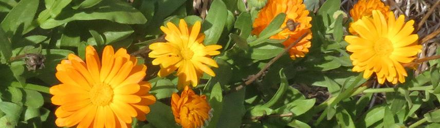 semis de printemps - semence bio de fleurs
