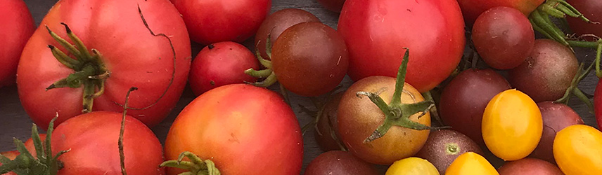 semis de printemps - semences bio de tomate