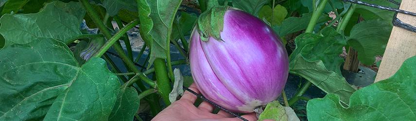 semences bio de aubergine culture en pot ou potager
