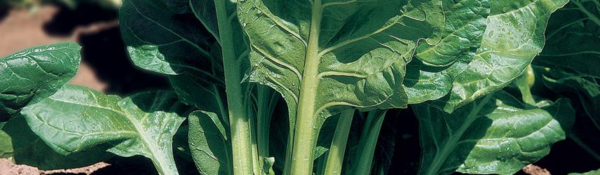 semences bio de blette culture en pot ou potager