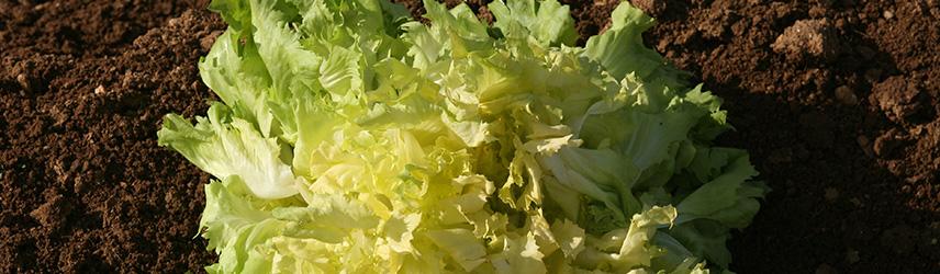 semences bio de chicorée culture en pot ou potager