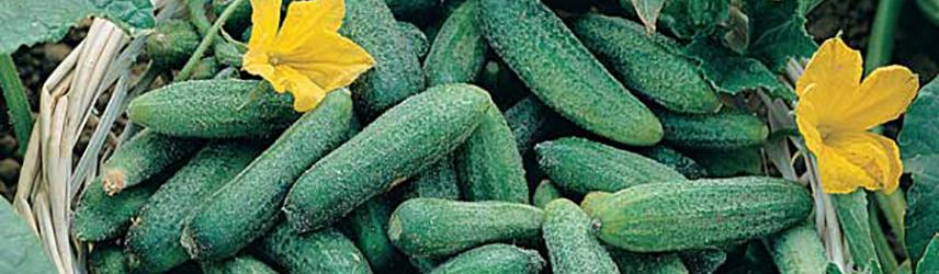 semences bio de cornichon culture en pot ou potager